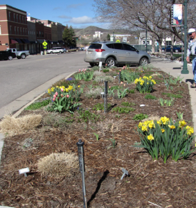 Daffodils adorn the garden beds along third street.