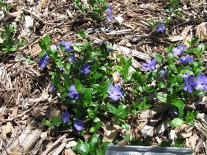 Vinca minor, or lesser periwinkle, with its pale blue flowers.