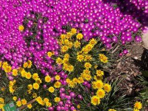 Pink Delosperma with yellow Gazania