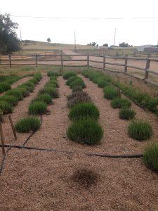 Lavender trials at Hidden Mesa