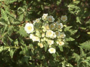 blooms on a fernbush plant.